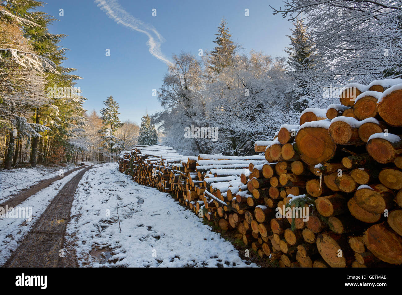 Softwood log stacks in a snowy forest in Wales. - Stock Image