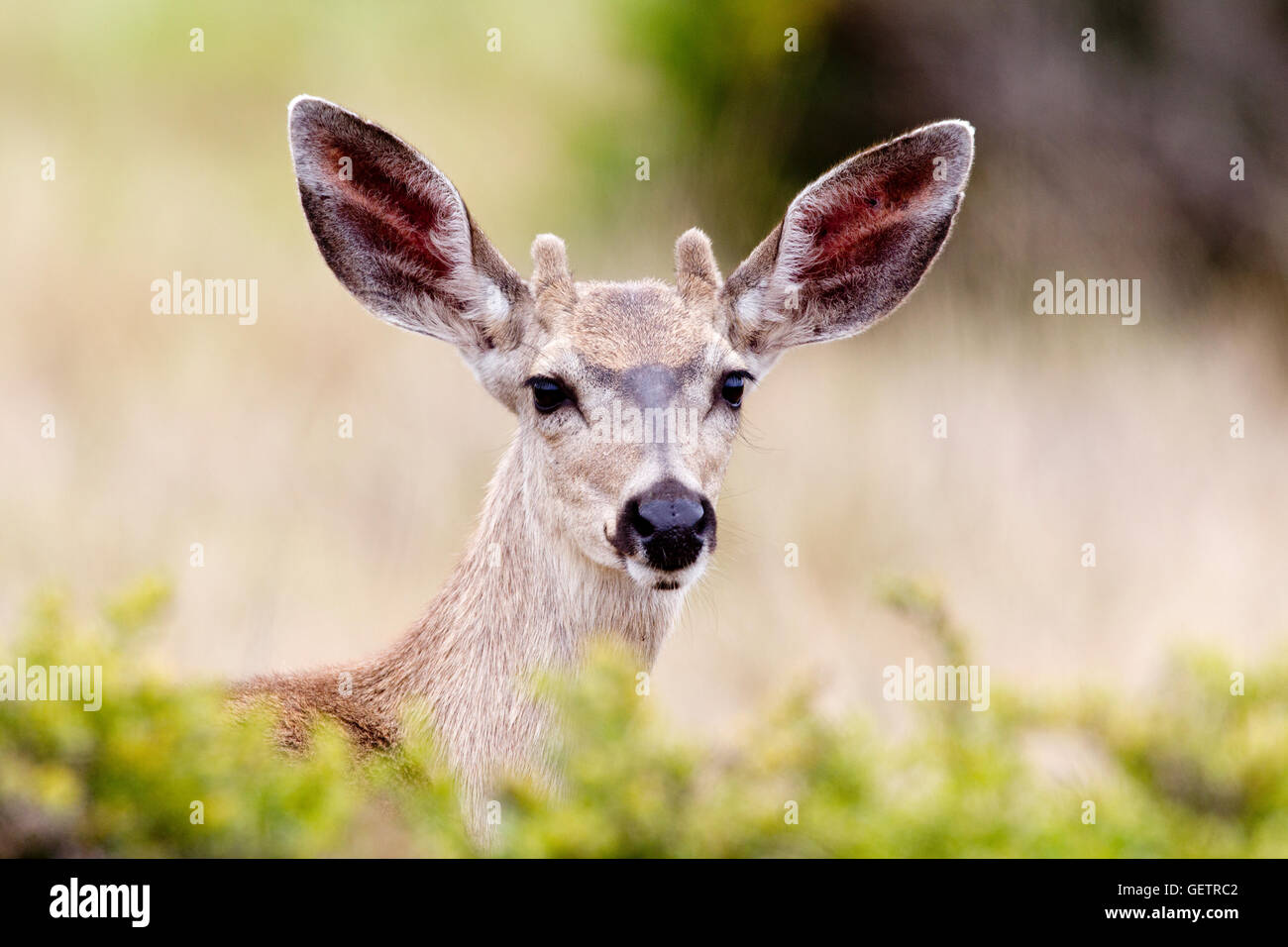 Black tailed Deer Buck - Stock Image
