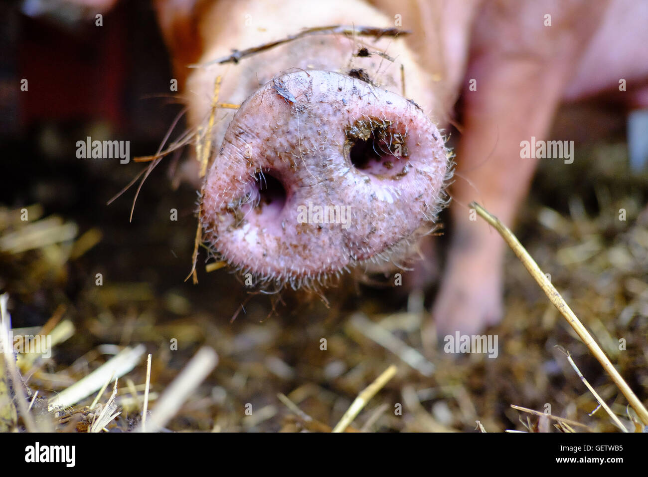 Close up of a pig's snout showing the leg of the pig in the background surrounded by straw. - Stock Image