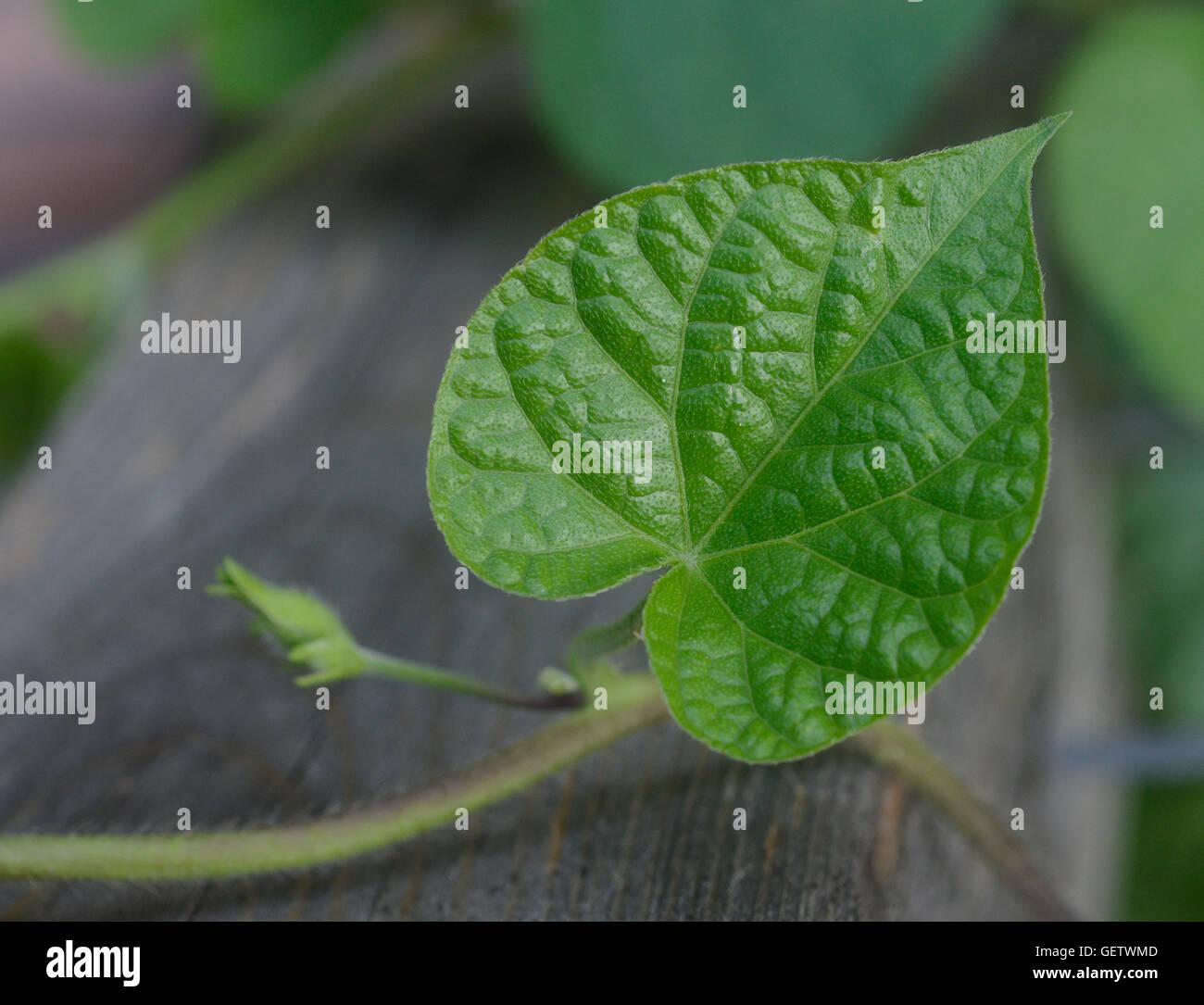 Heart-shaped morning glory leaf - Stock Image