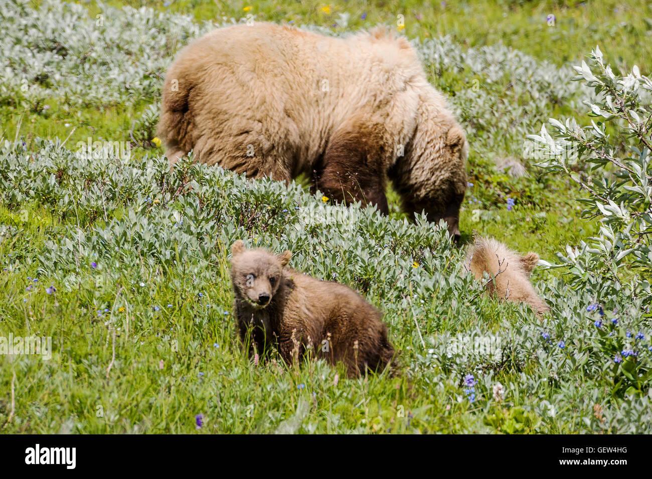 Sow (female) Grizzly bear (Ursus arctos horribilis) with cubs, near Highway Pass, Denali National Park, Alaska, - Stock Image