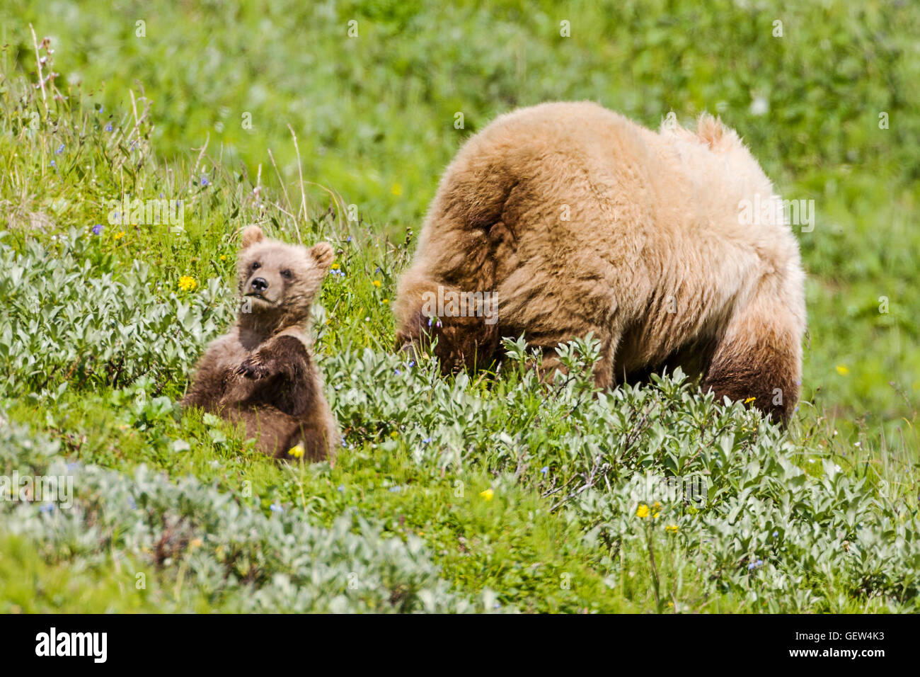 Sow (female) Grizzly bear (Ursus arctos horribilis) with cubs, near Highway Pass, Denali National Park, Alaska, Stock Photo