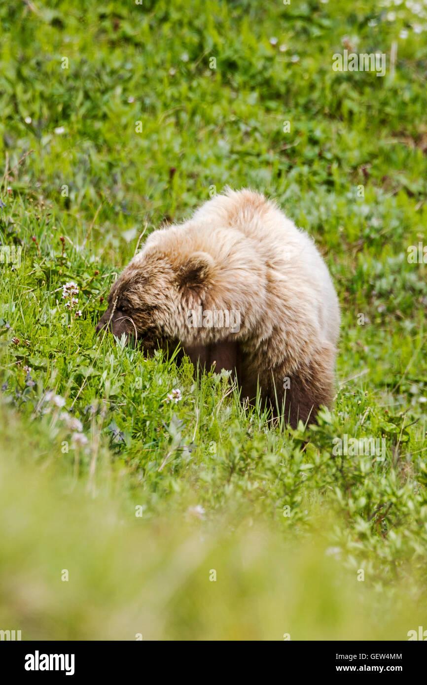 Sow (female) Grizzly bear (Ursus arctos horribilis), near Highway Pass, Denali National Park, Alaska, USA - Stock Image