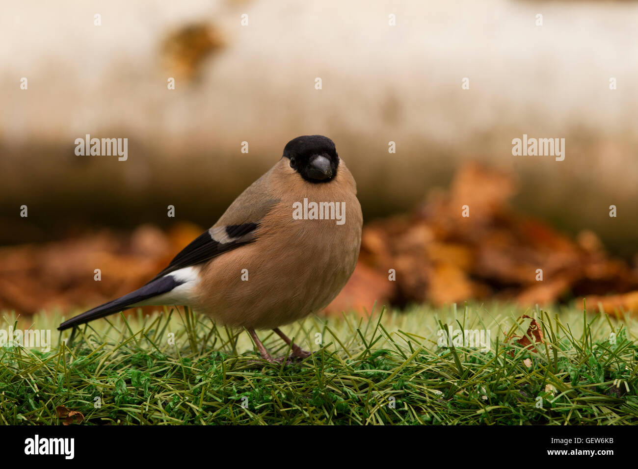 Bullfinch Female - Stock Image