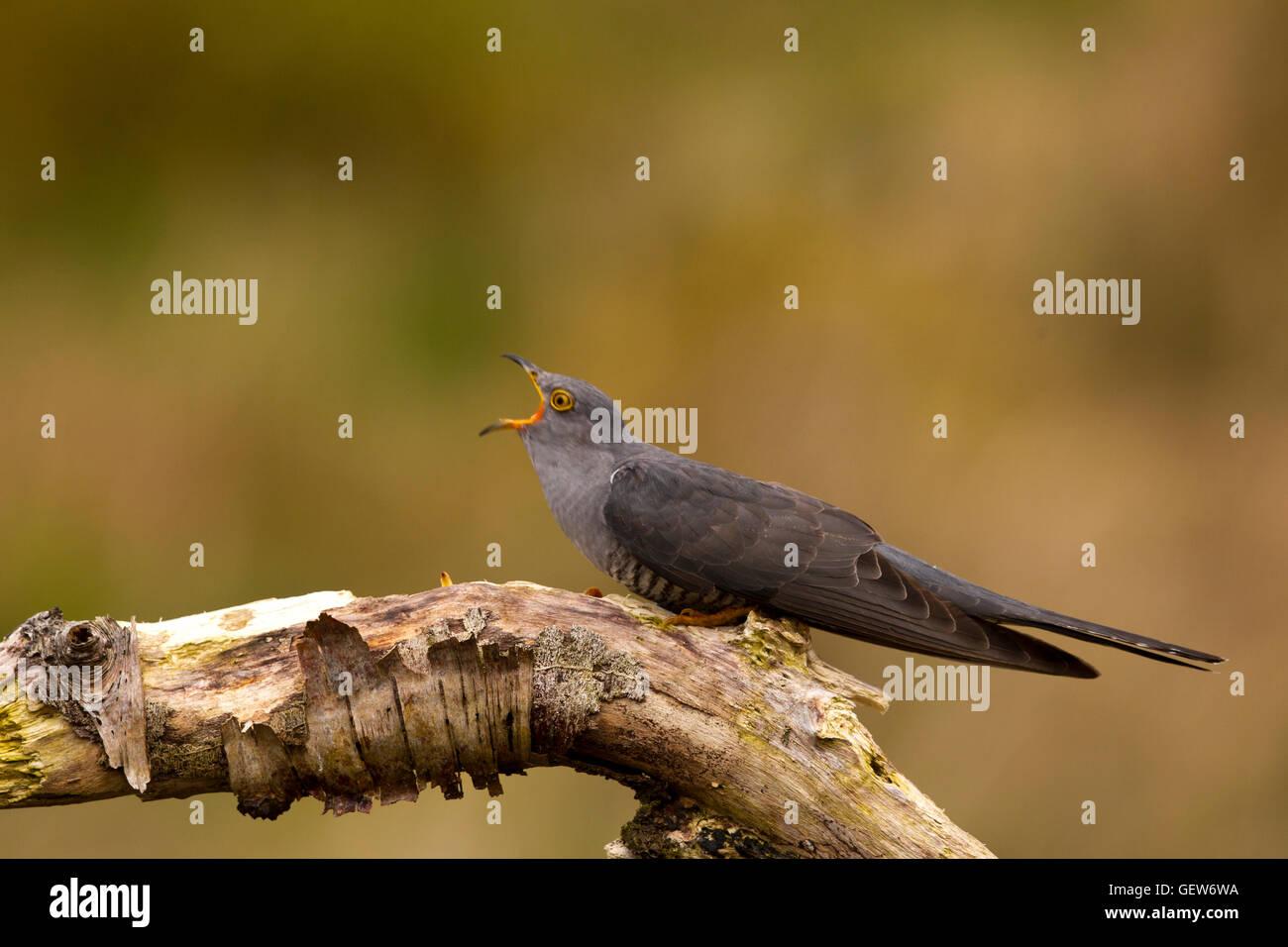 Cuckoo Calling Stock Photo