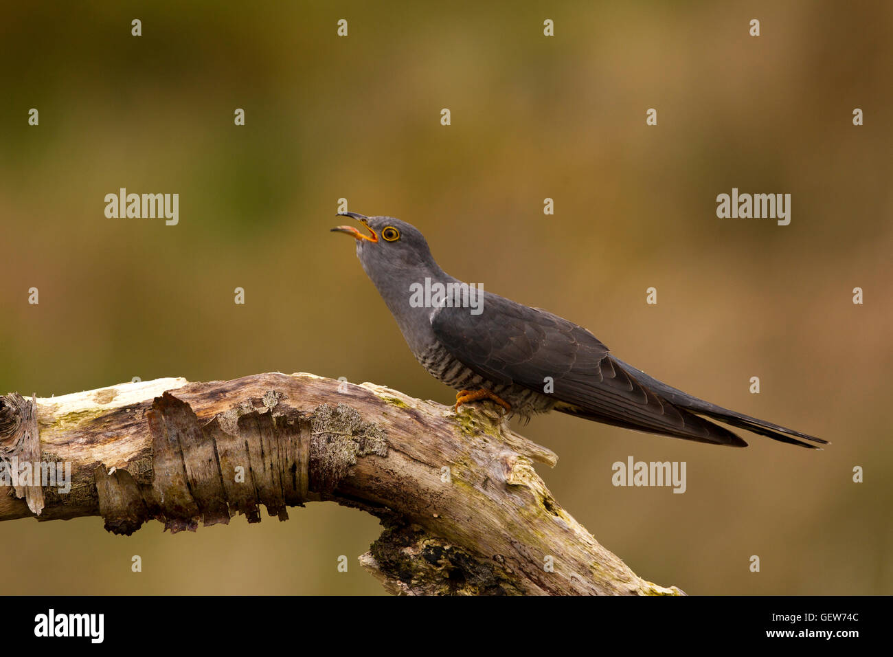 Cuckoo Calling Stock Photo