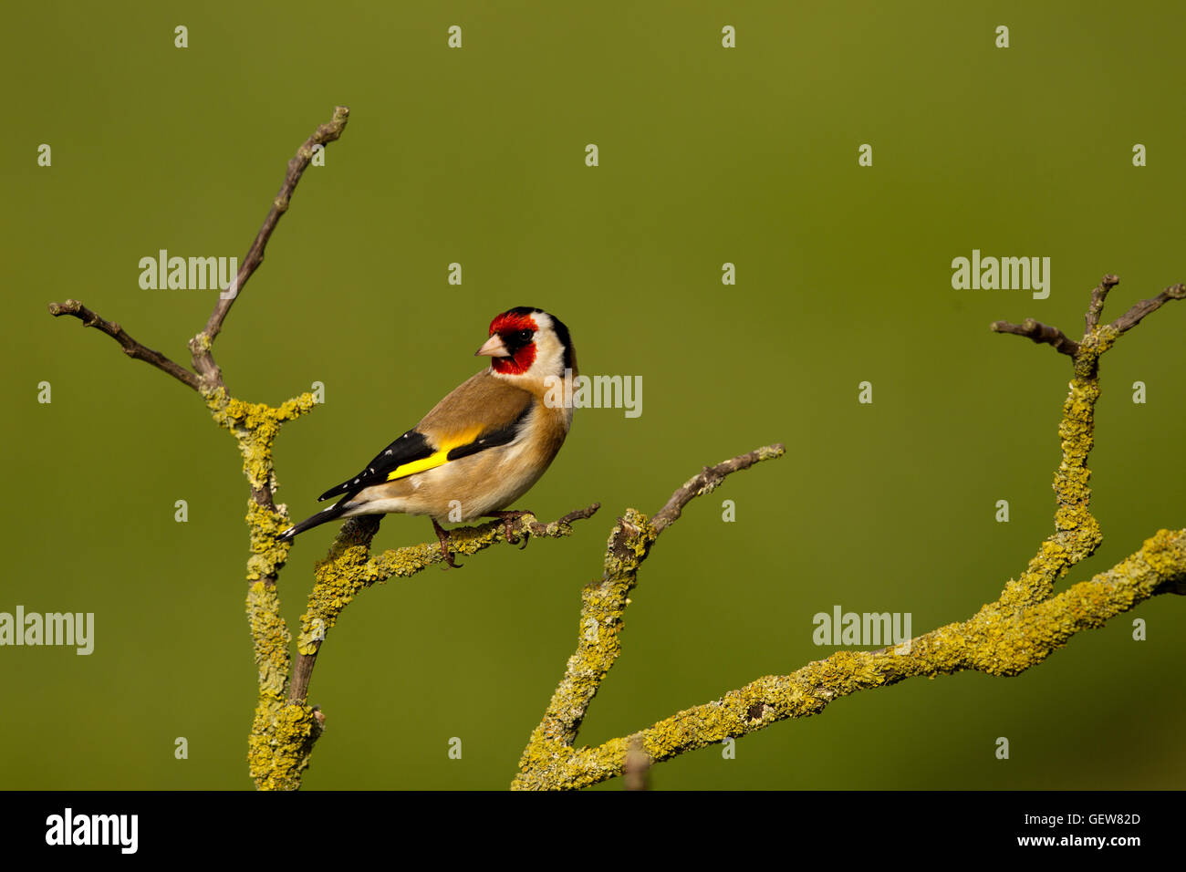Goldfinch - Stock Image