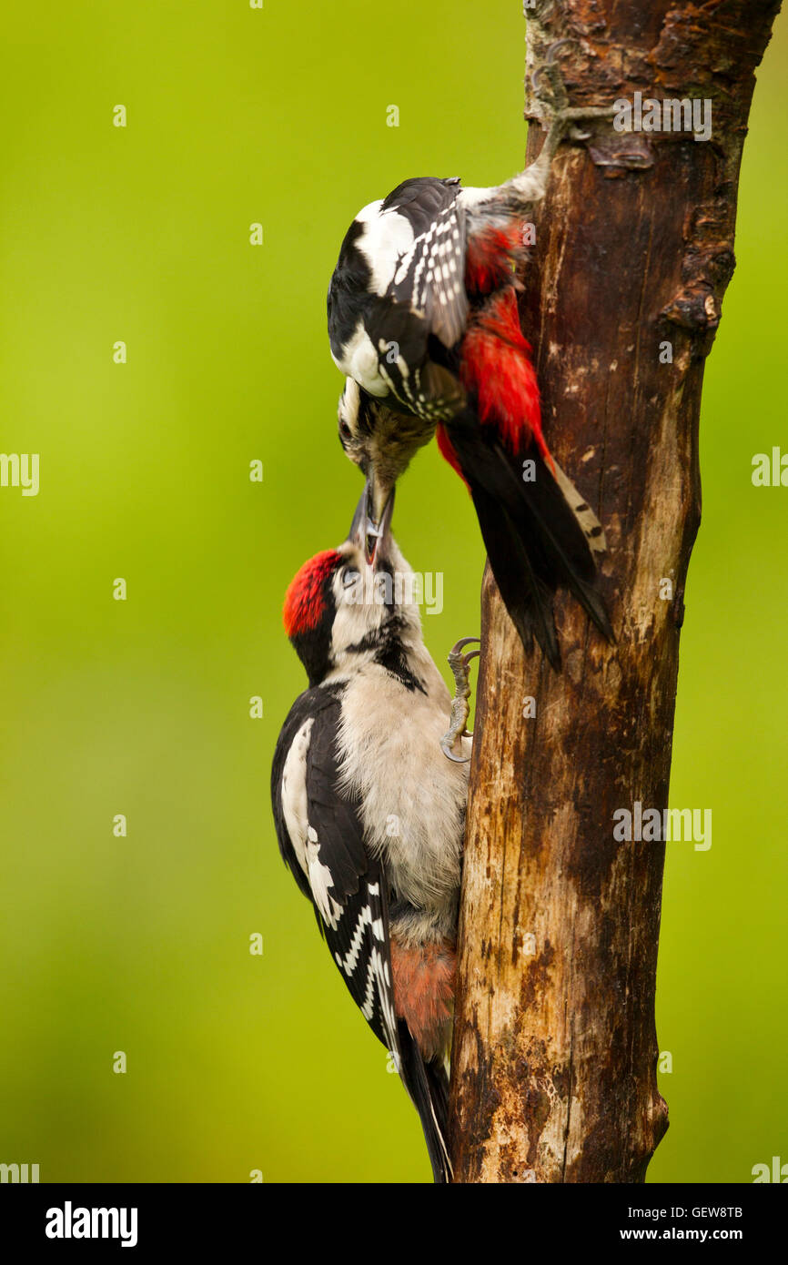 Greater Spotted Woodpecker feeding young - Stock Image