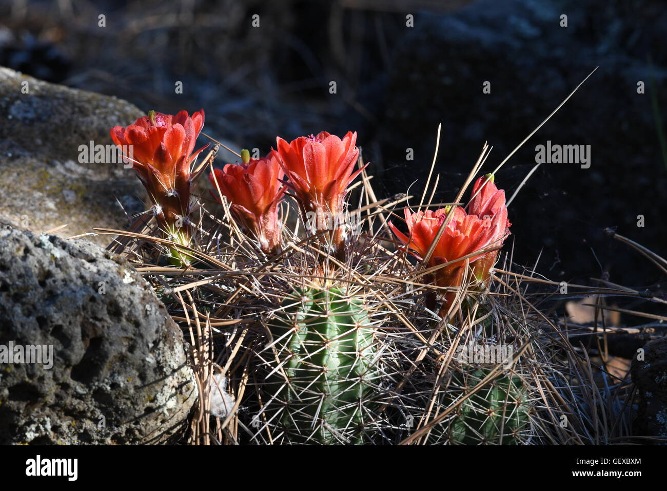 Green hedgehog cactus flowering red flowers in pine forest. - Stock Image
