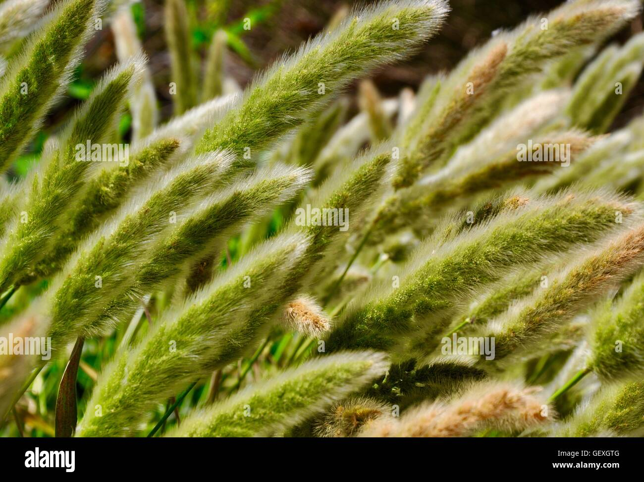 Closeup of soft green seed heads in native wild grasses in Western Australia. - Stock Image