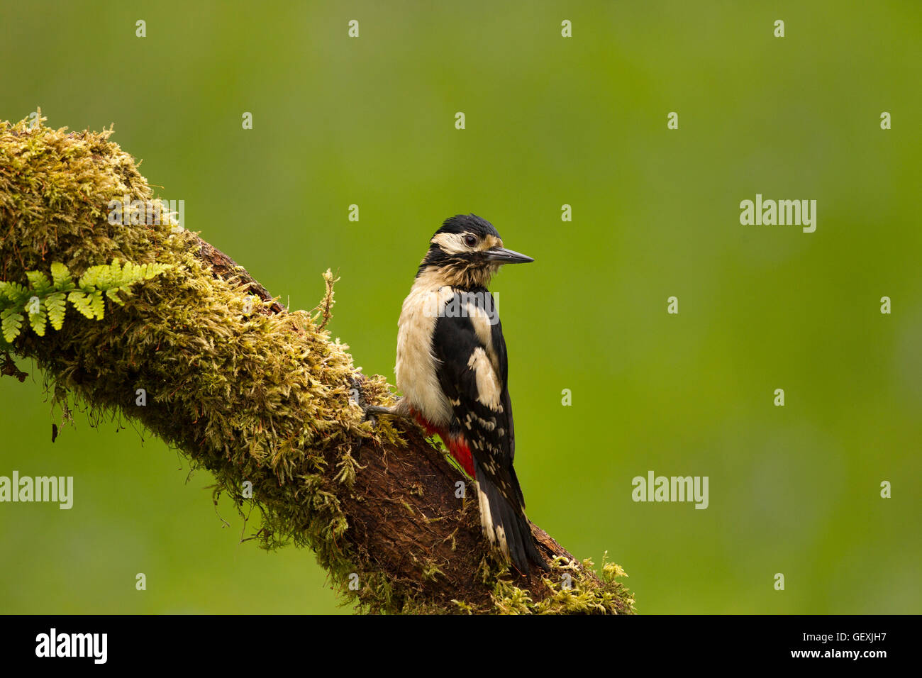 Greater Spotted Woodpecker - Stock Image