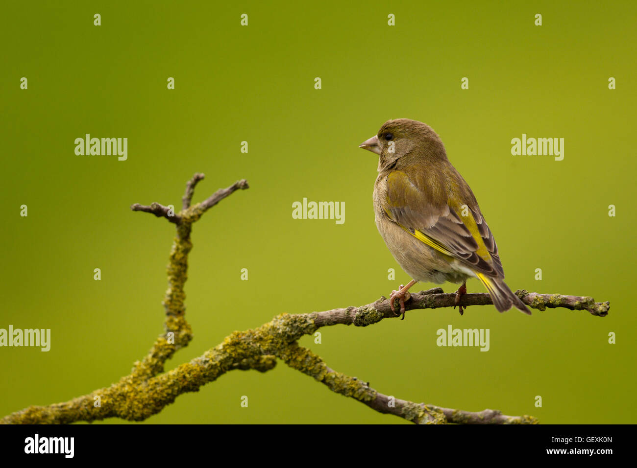 Greenfinch - Stock Image