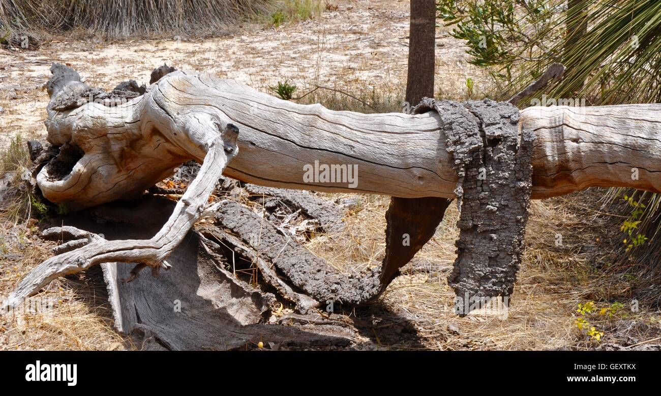 Fallen tree with shedding layer of bark draped over in native Western Australian bushland. - Stock Image