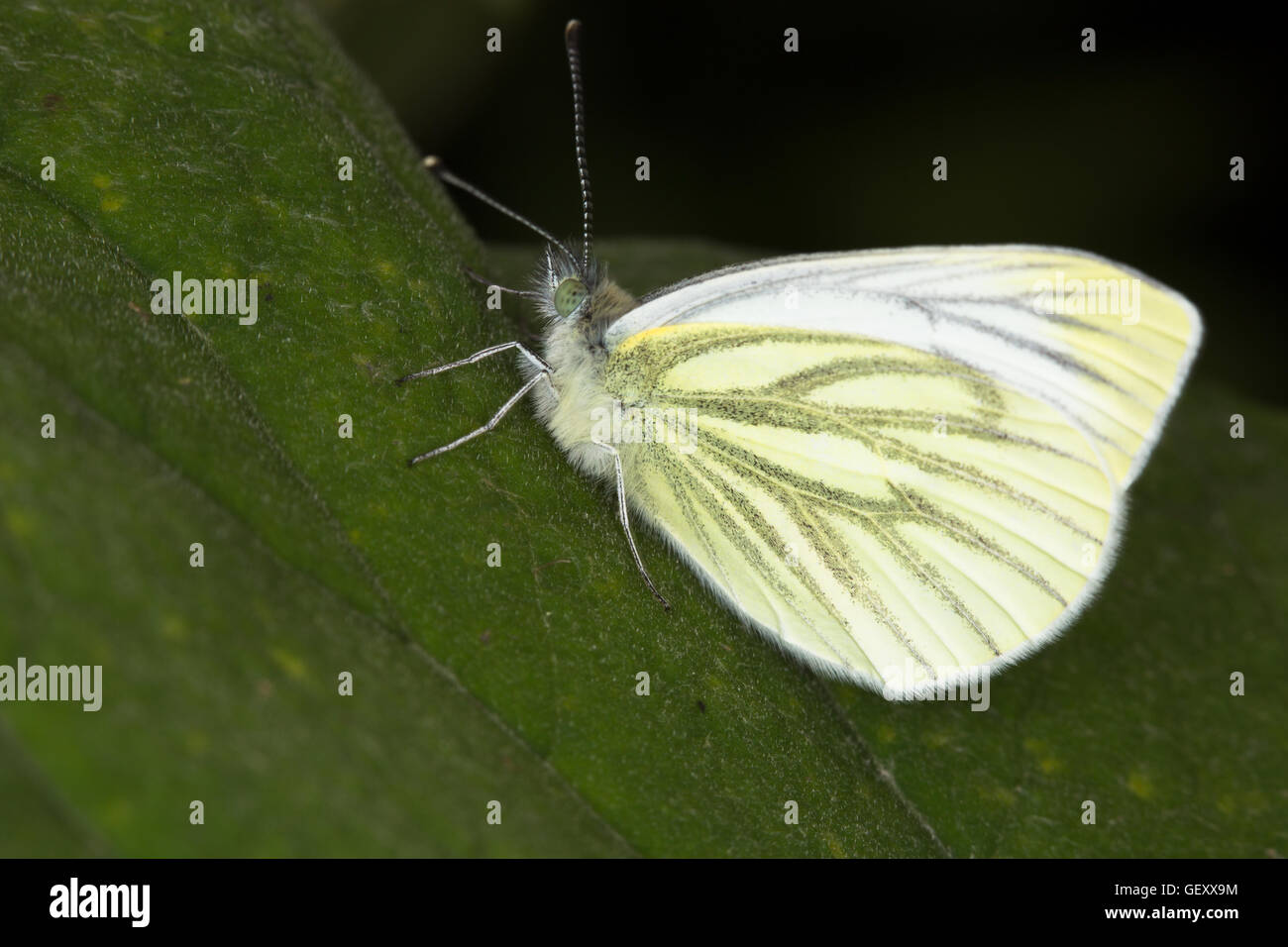 A profile image of a common English Butterfly, Green-veined White, (Pieris napi), taken around Durham, England. - Stock Image