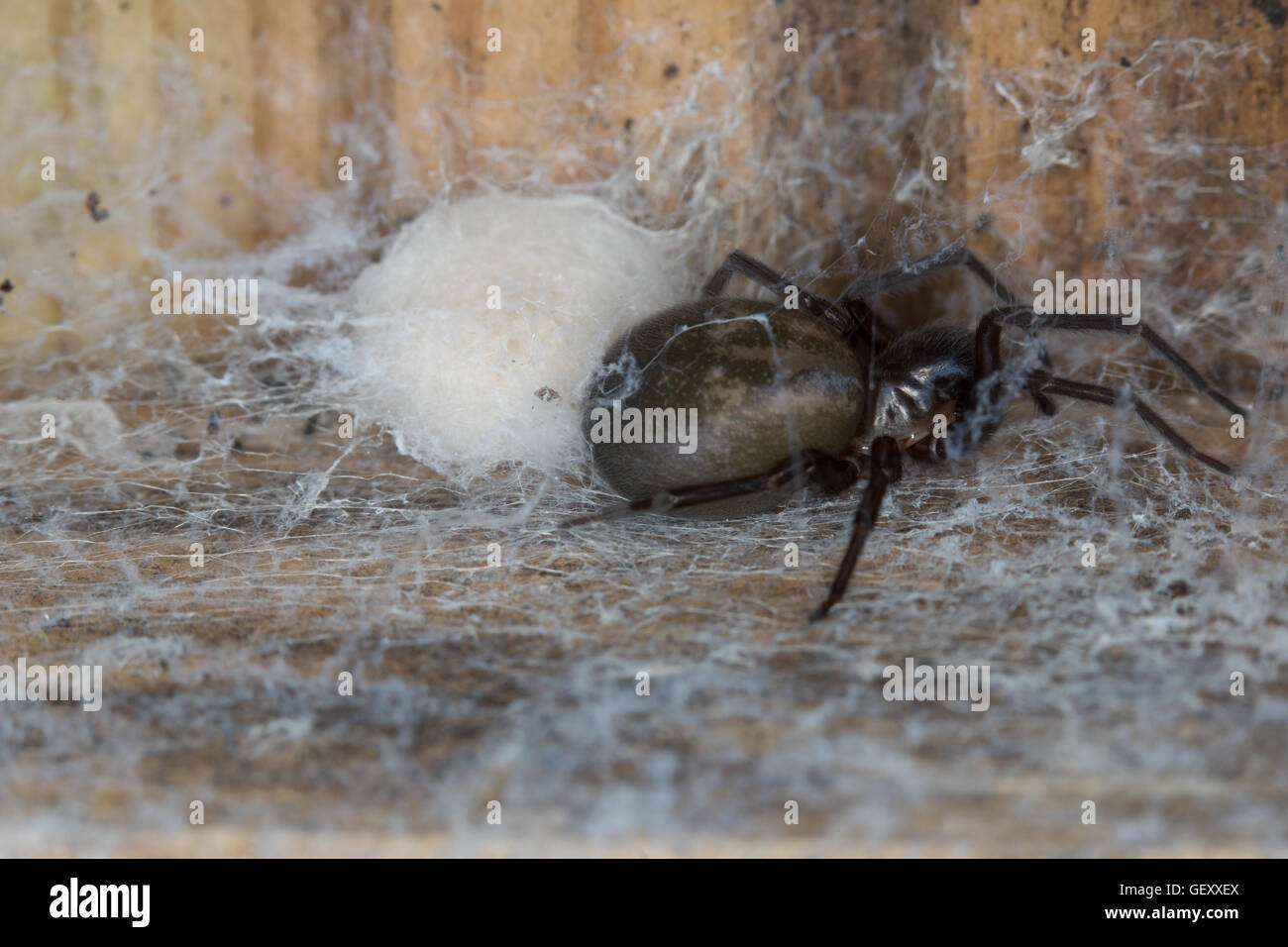 A female Lace Weaver Spider (Amaurobius similis) protecting it's breeding chamber taken in Durham, England. - Stock Image