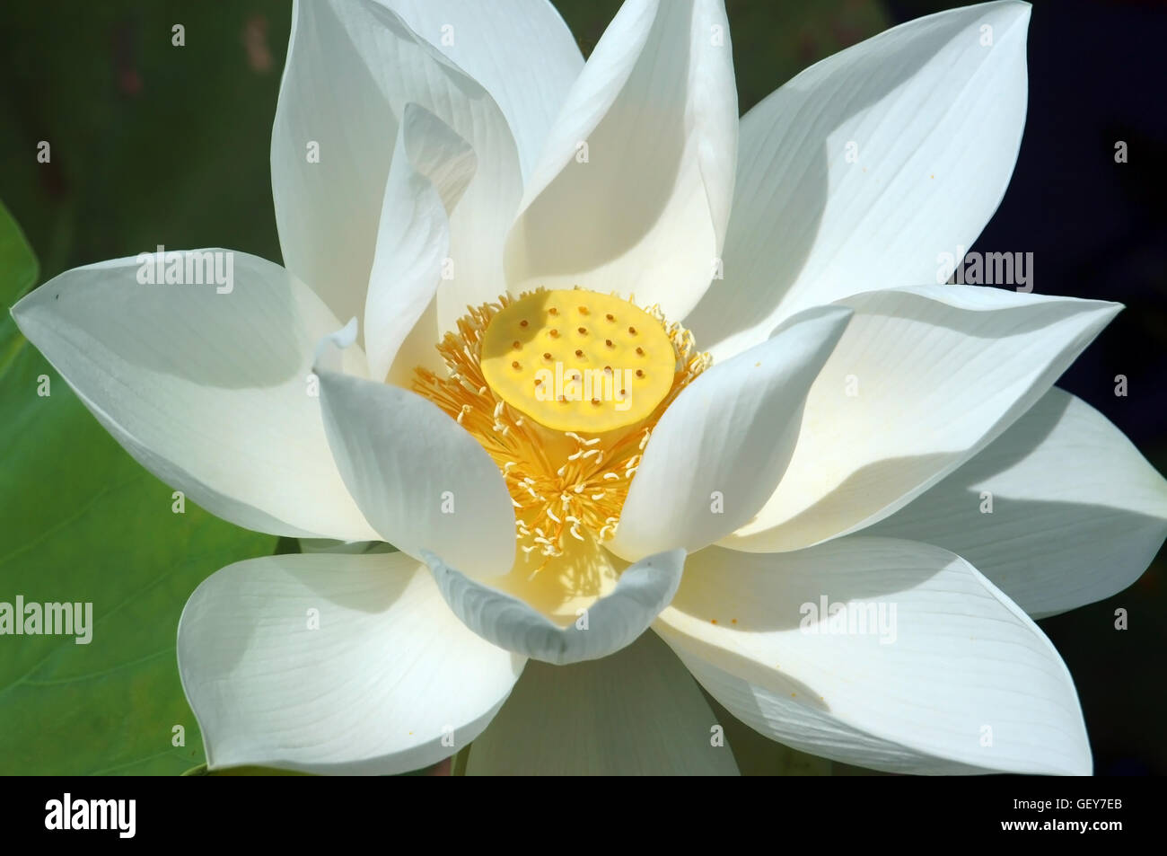 Vietnamese flower pure white lotus flower symbol of vietnam at vietnamese flower pure white lotus flower symbol of vietnam at mekong delta closeup of beautiful bloossom mightylinksfo