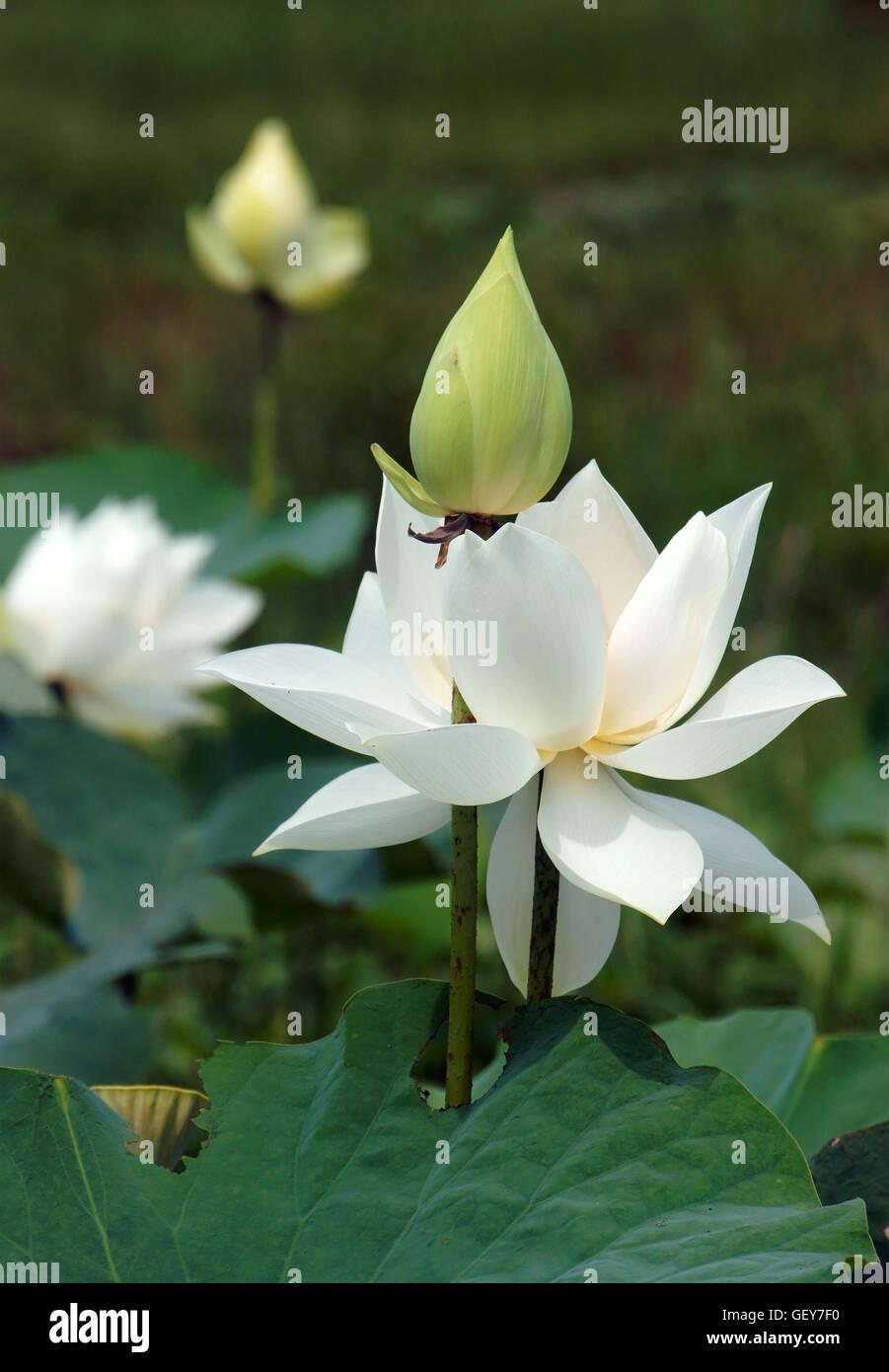 Vietnamese Flower Pure White Lotus Flower Symbol Of Vietnam At