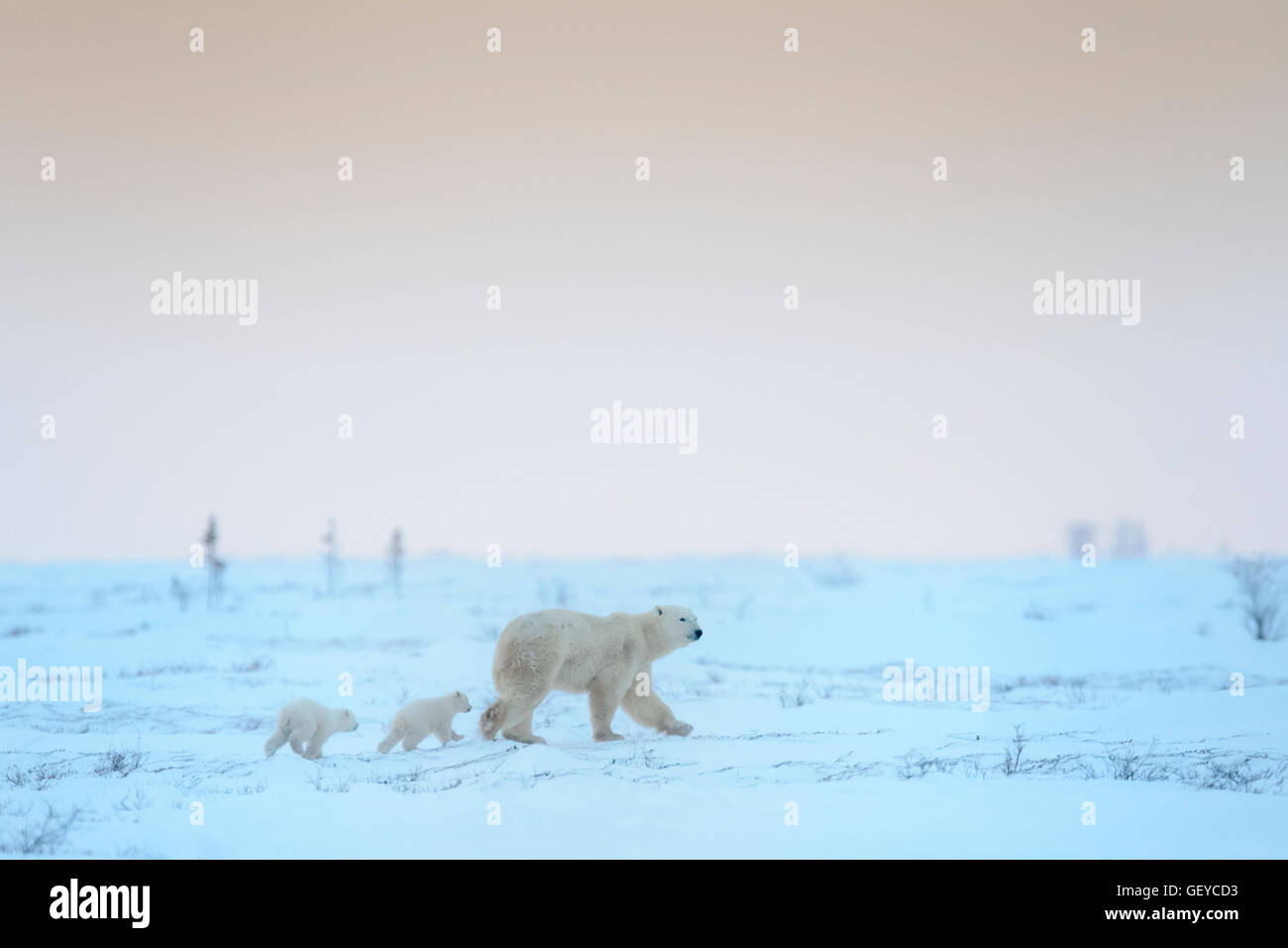 Polar bear mother (Ursus maritimus) with two cubs walking on tundra at dusk, Wapusk National Park, Manitoba, Canada - Stock Image