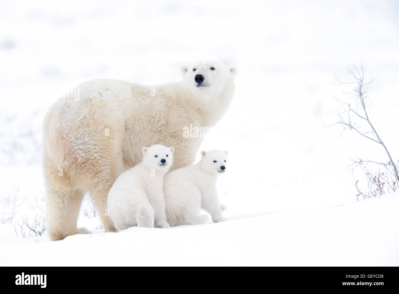 Polar bear mother (Ursus maritimus) with two cubs, Wapusk National Park, Manitoba, Canada - Stock Image