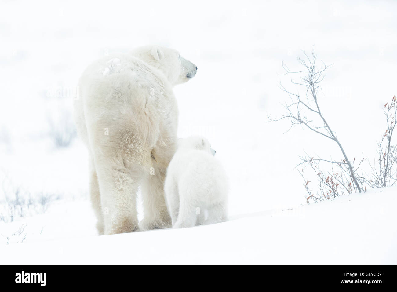 Polar bear mother (Ursus maritimus) with two cubs from behind, Wapusk National Park, Manitoba, Canada - Stock Image