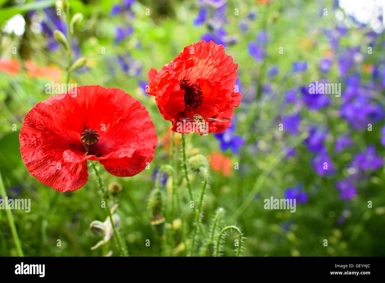 Honey bee flying towards vibrant red poppy leaves - Stock Image