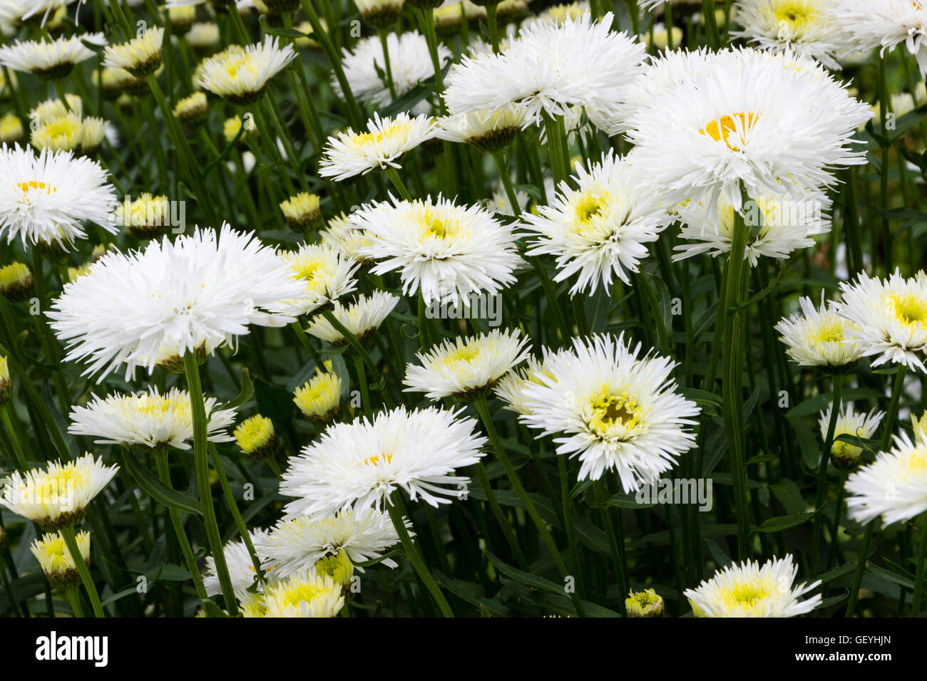 Double daisy stock photos double daisy stock images alamy white double flowers of the selected form of the oxeyse daisy leucanthemum shapcott summer izmirmasajfo