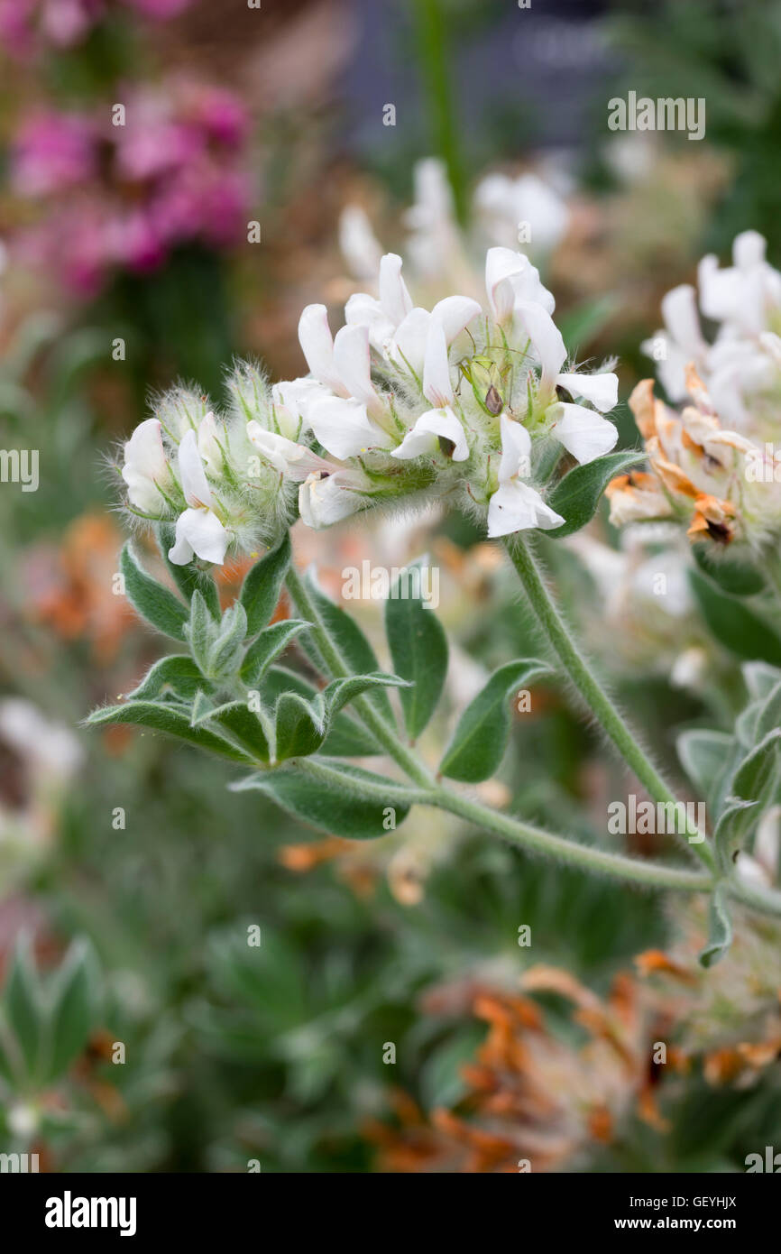 White pea flowers of the shrubby Canary clover, Lotus hirsutus - Stock Image