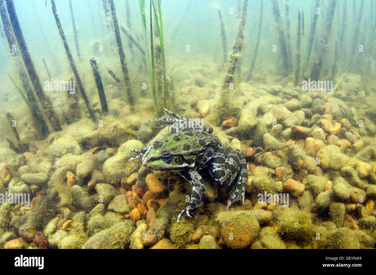 Marsh frog underwater - Stock Image