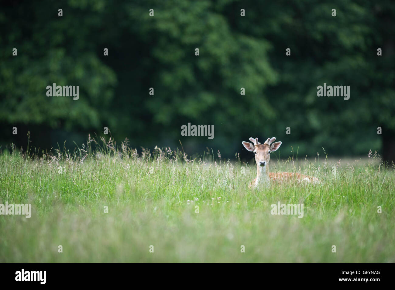 Fallow Deer in grass - Stock Image