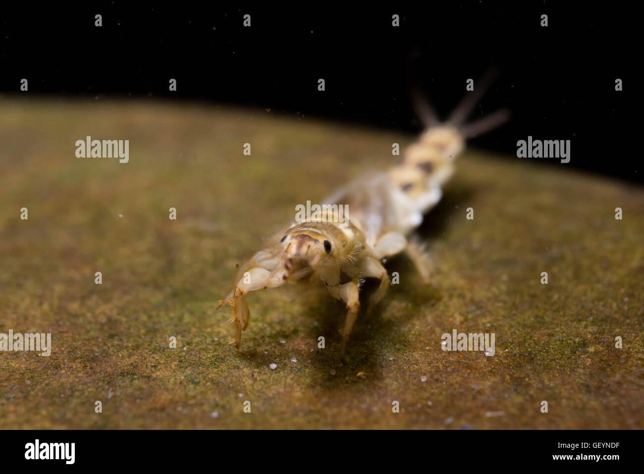 Brown Drake Ephemera simulans mayfly larvae - Stock Image