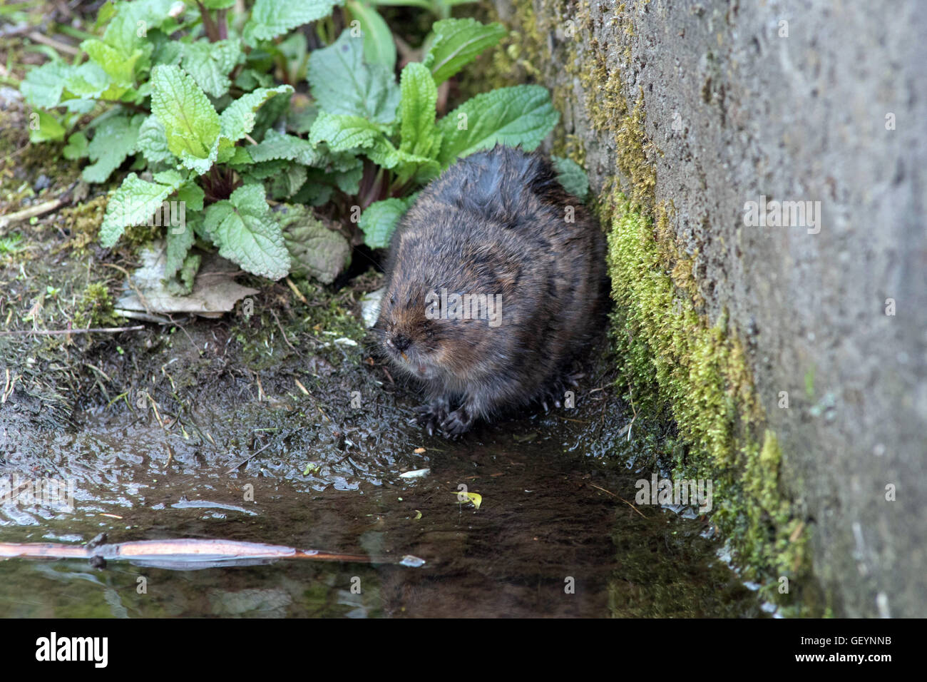 Water Vole by the riverbank - Stock Image
