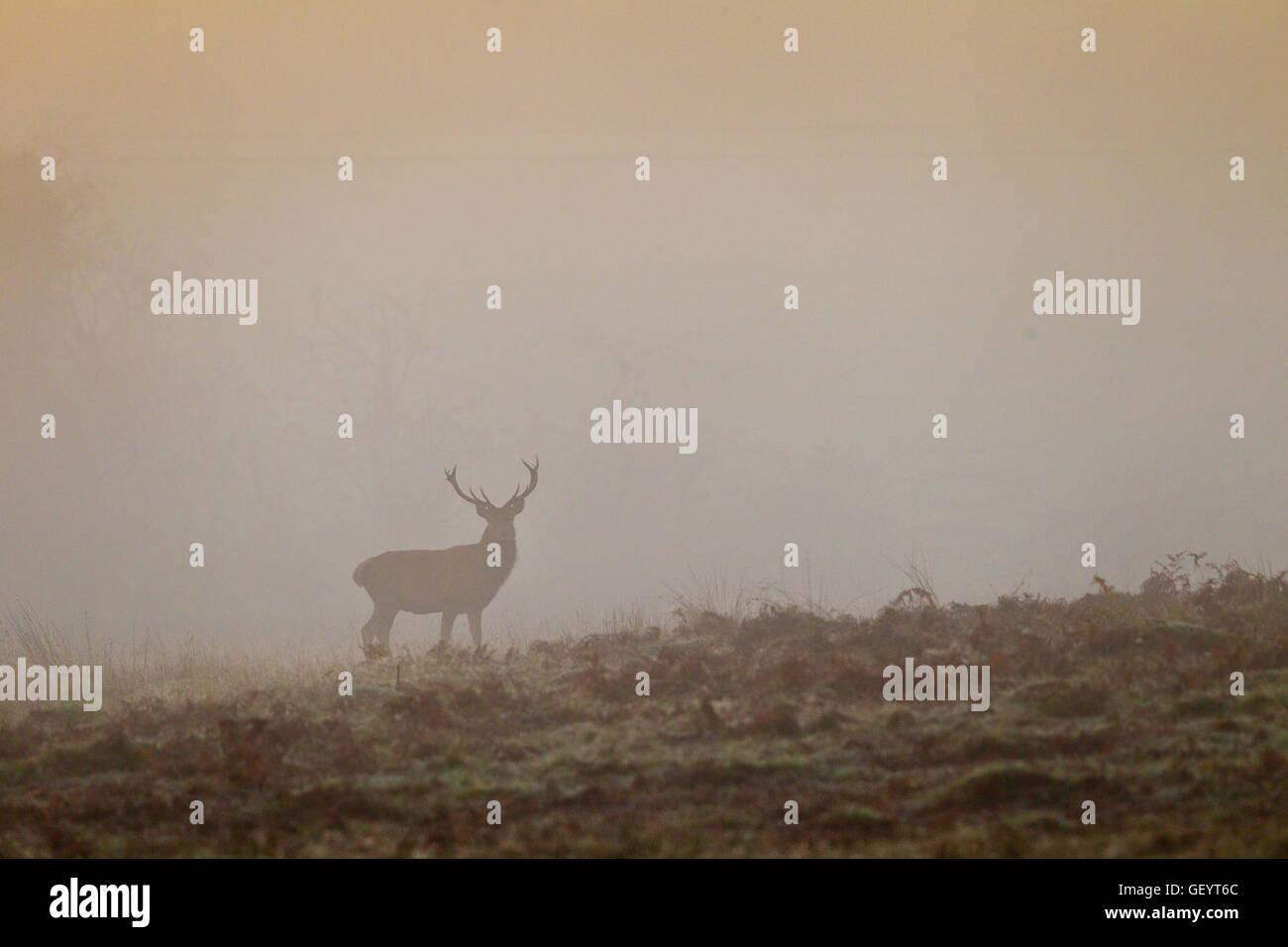 Red Deer in Autumn mist - Stock Image