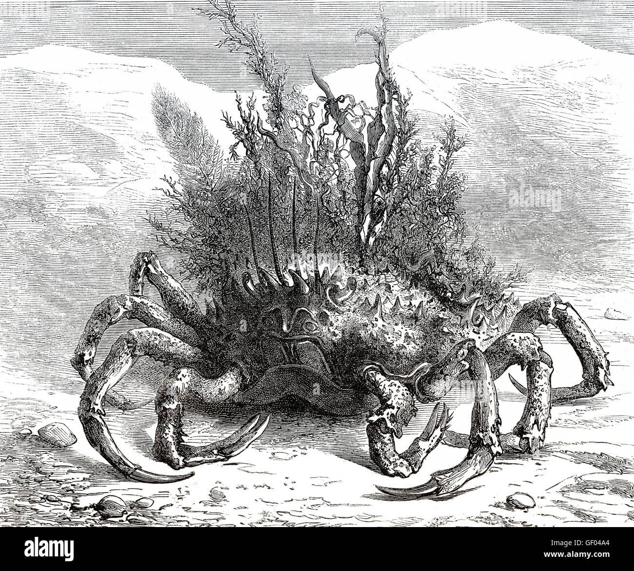 Maja squinado, the European spider crab, spiny spider crab or spinous spider crab, a species of migratory crab found - Stock Image