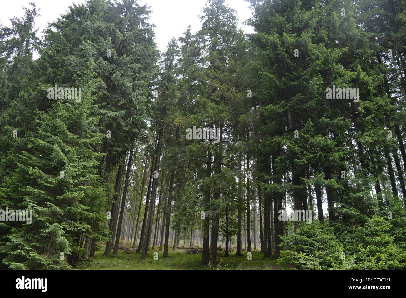 Coniferous forest in the Apuseni Mountains - Stock Image