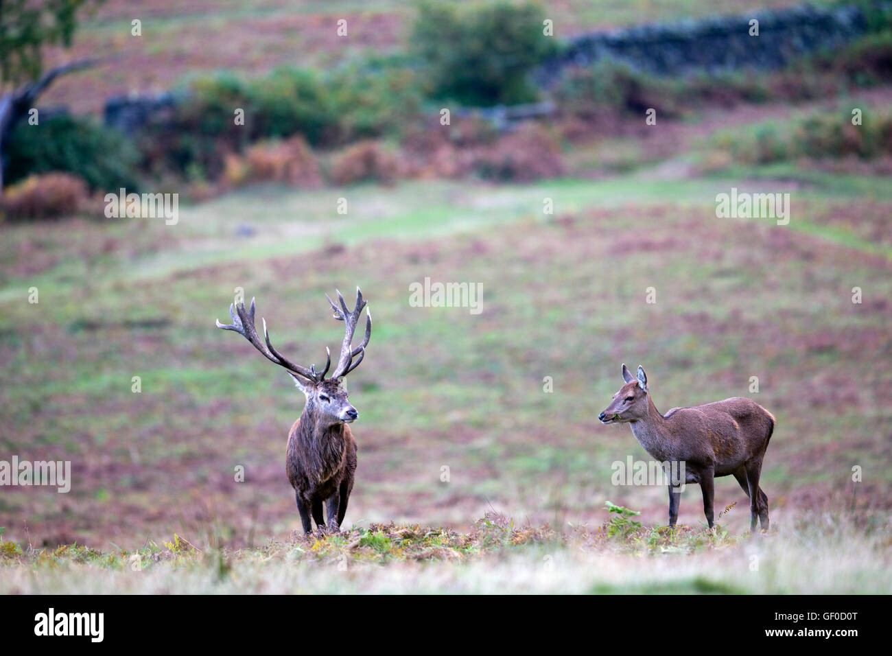 Red Deer Stag with hinds - Stock Image
