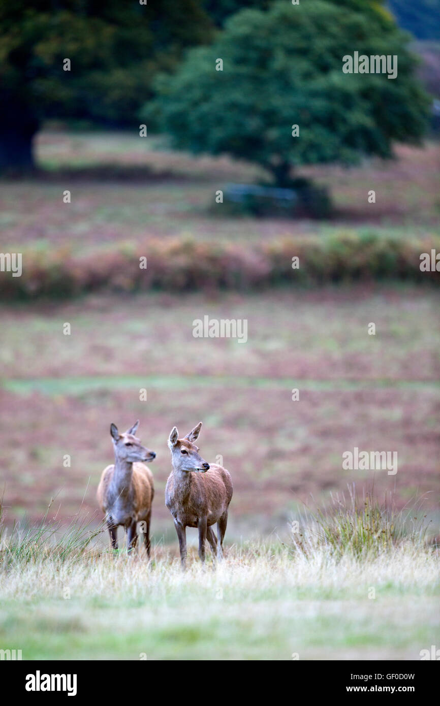 Red Deer hinds - Stock Image