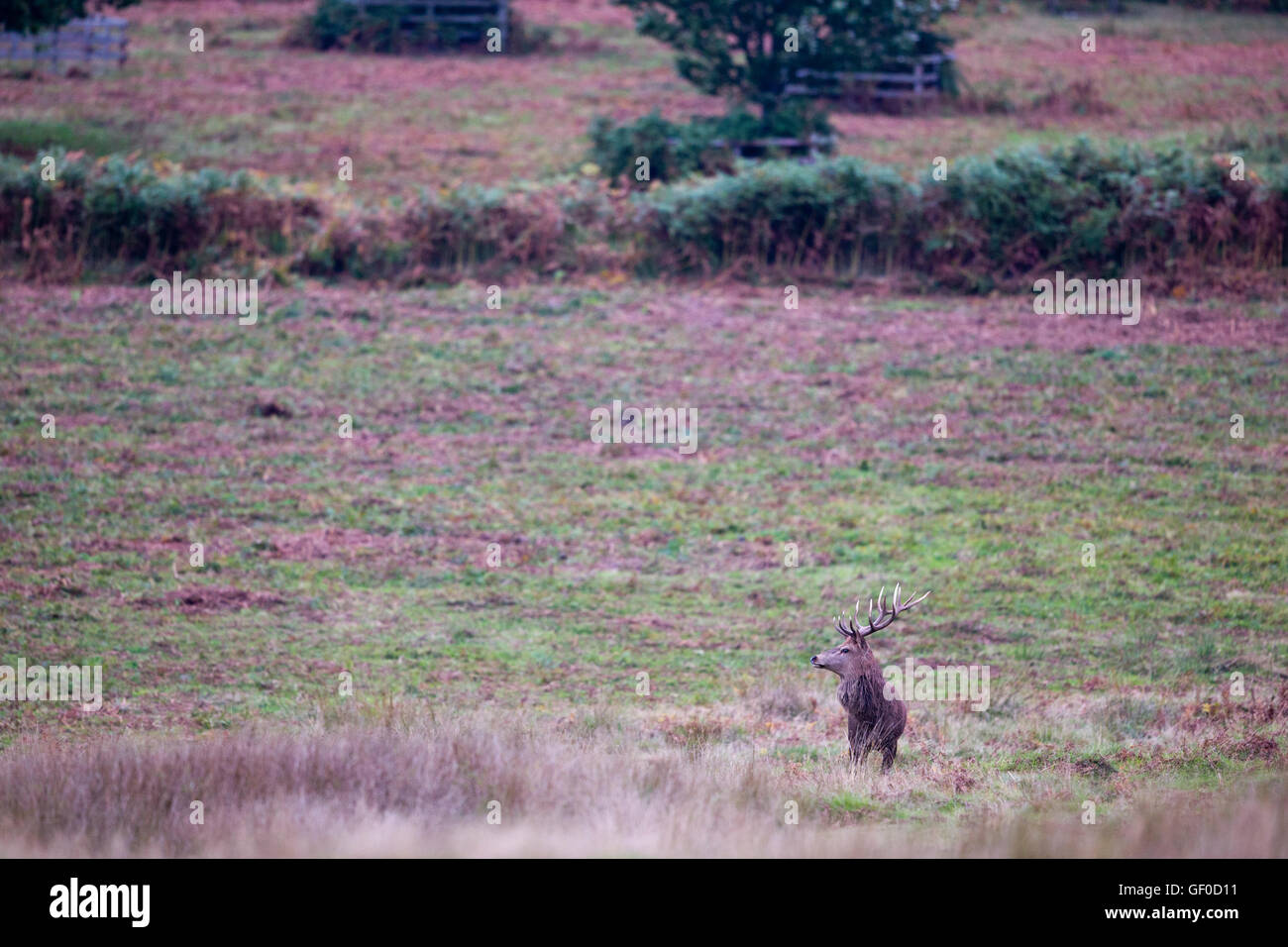 Red Deer Stag in rut at a park - Stock Image