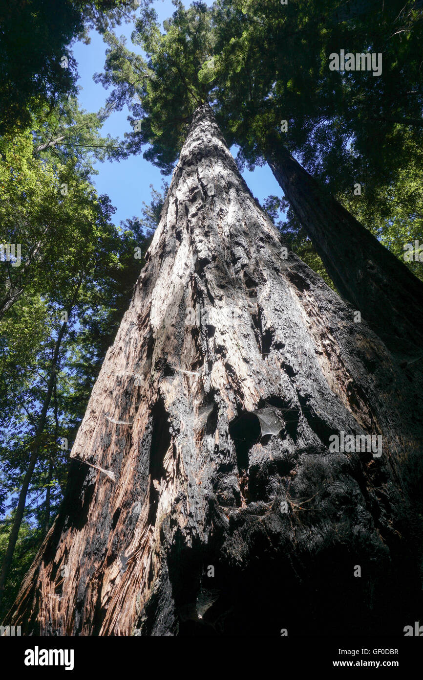Redwood Tree close up, Big Basin State Park, California Stock Photo