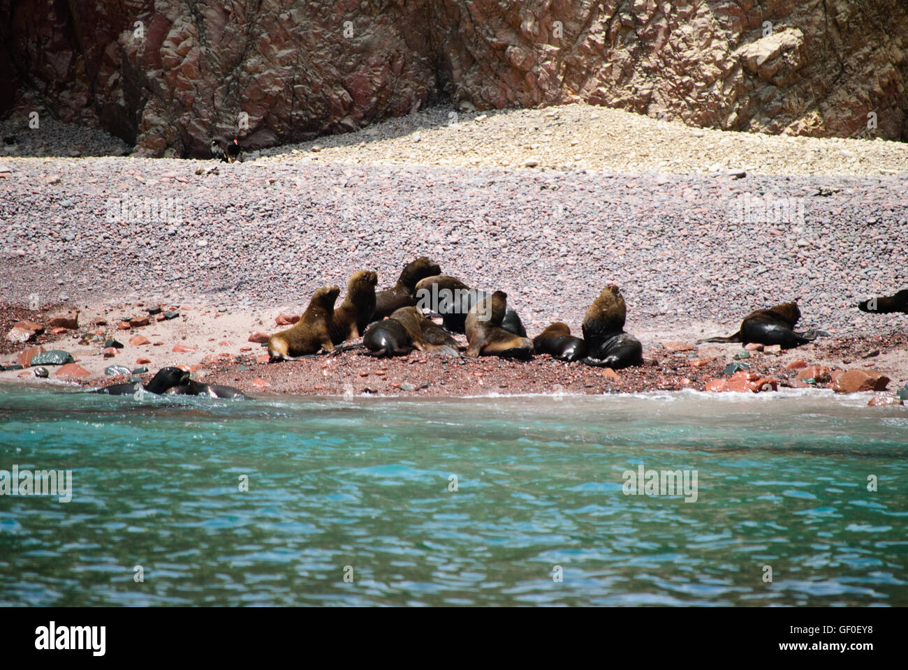 South American Sea Lions on the rocky beach of Islas Ballestas Stock Photo