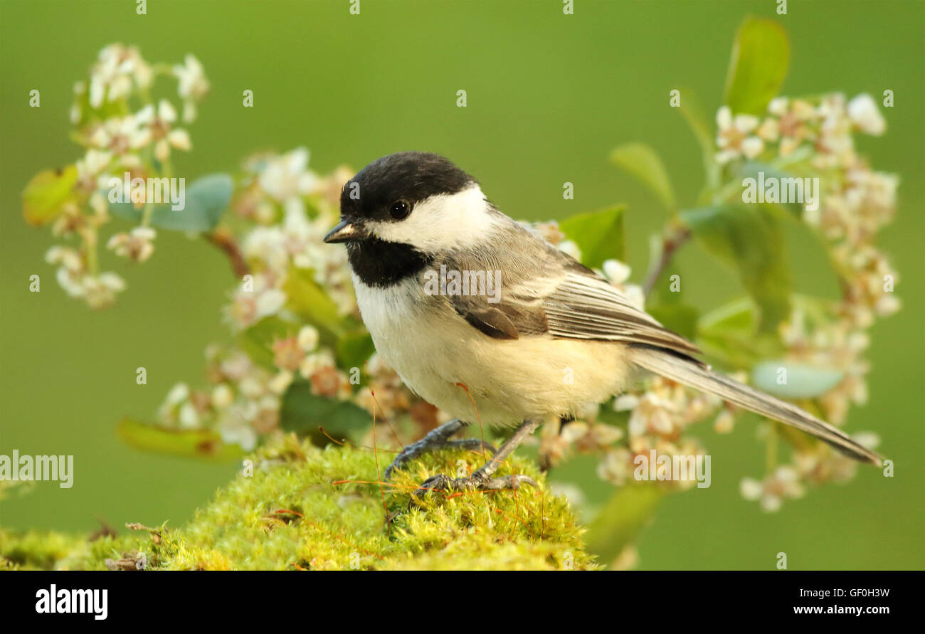 A Black-capped Chickadee among flowers. - Stock Image