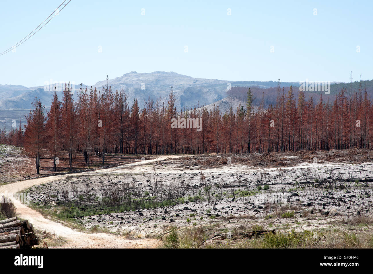 FIRE DAMAGE WESTERN CAPE SOUTH AFRICA. Fir trees burned by a forest fire close to Elgin Western Cape South Africa - Stock Image