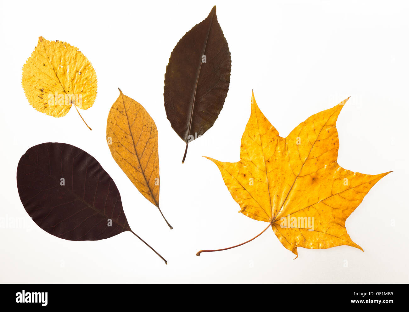 pressed leaves in yellow and brown tones - Stock Image
