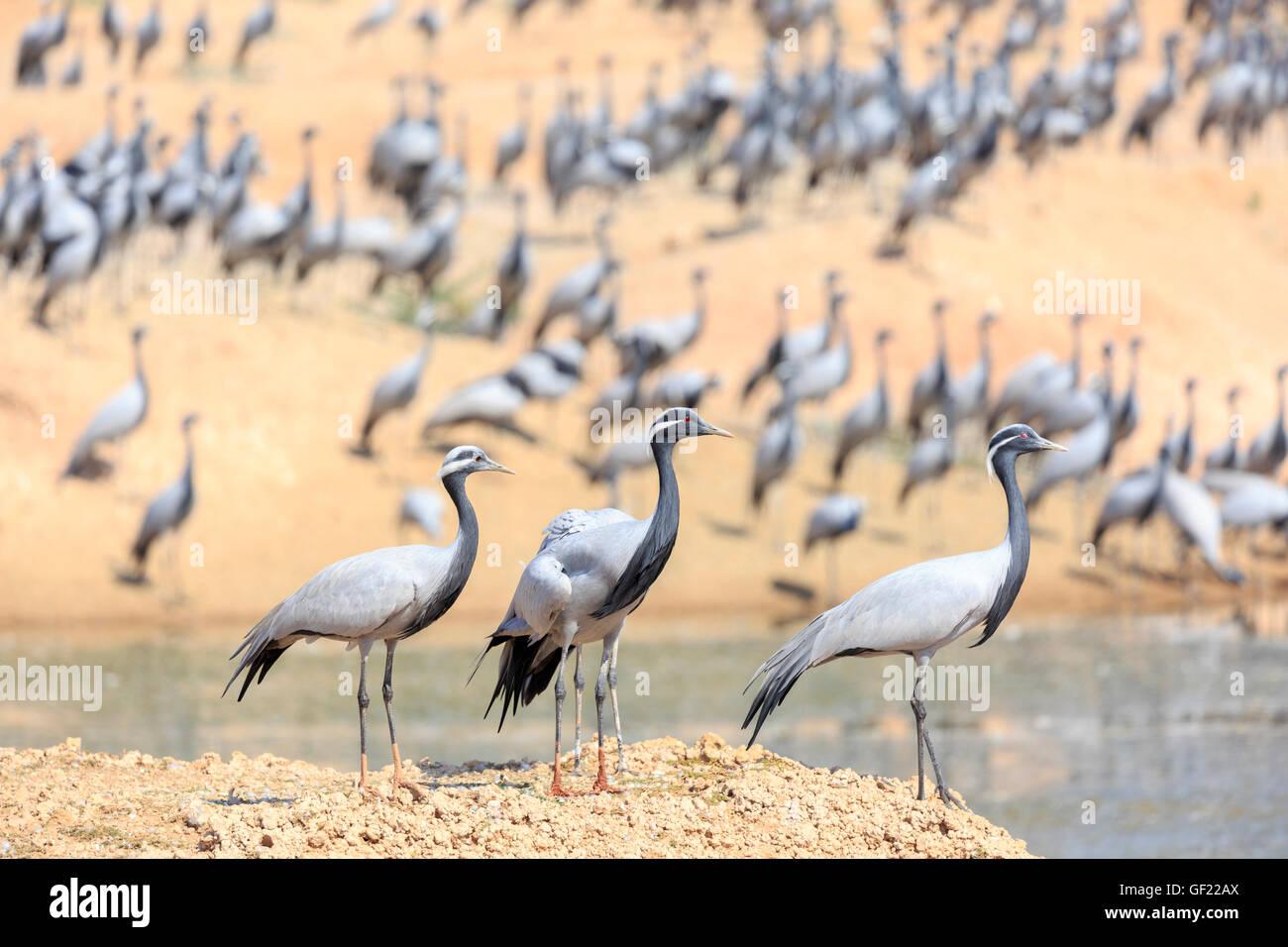Thar Desert, demoiselle cranes wintering, Khichan, India Stock Photo