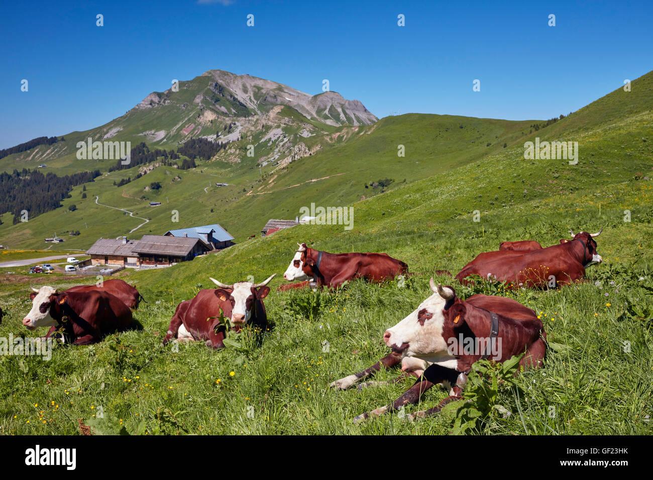 Abondance cows in meadow at Col des Annes. Le Grand Bornand. Haute-Savoie, France. - Stock Image
