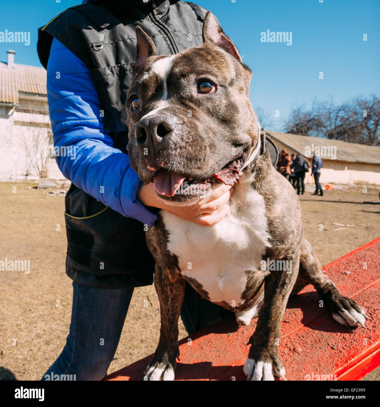 Beautiful Dog American Staffordshire Terrier on Obedience Training Outdoor - Stock Image