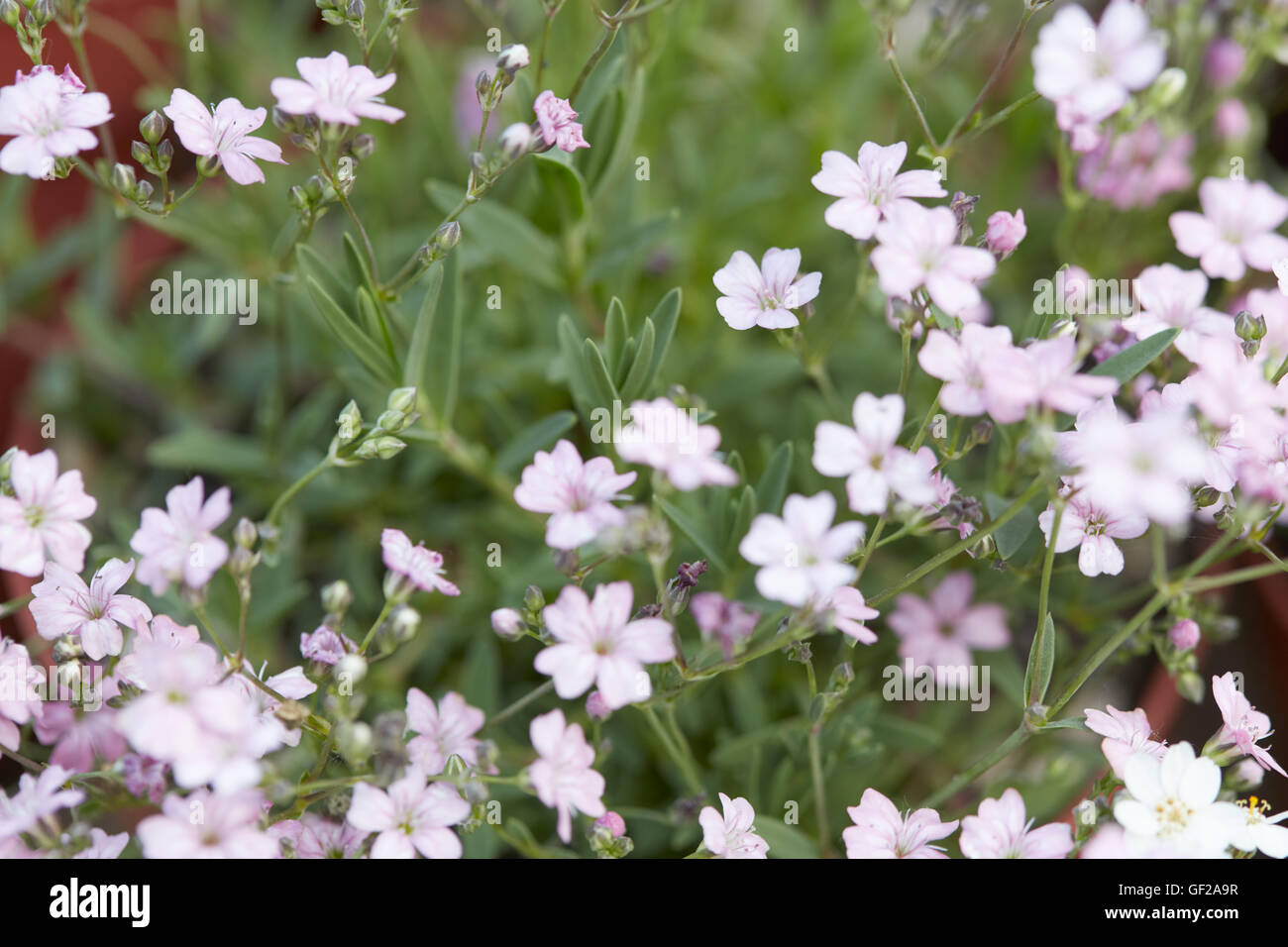 Babys breath stock photos babys breath stock images alamy gypsophila repens or babys breath pink little flowers stock image mightylinksfo