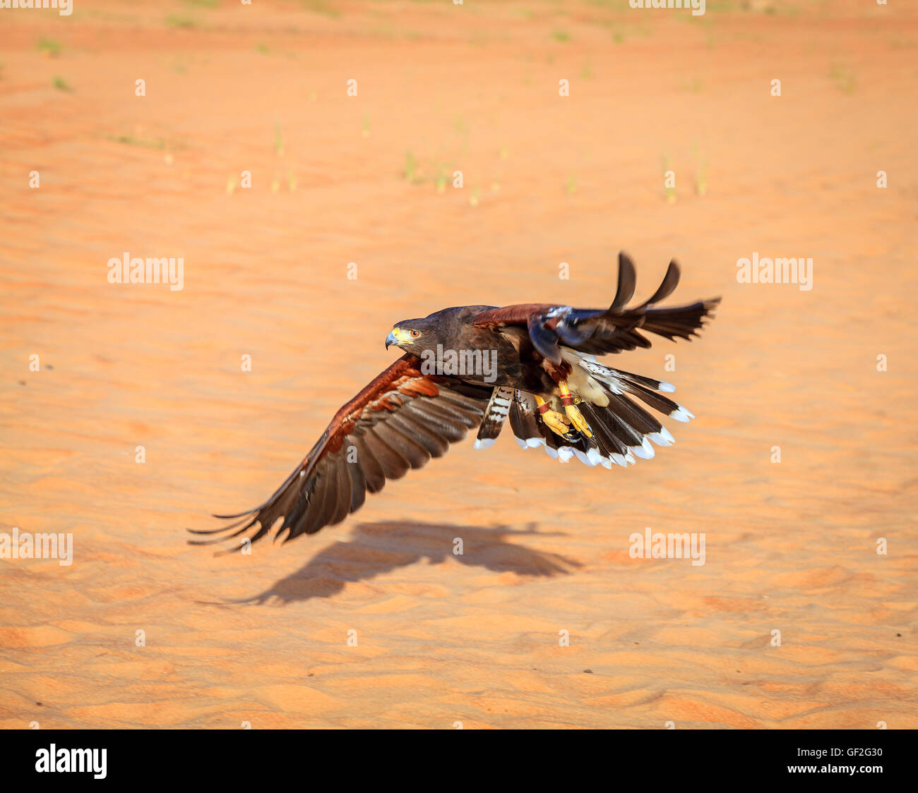 Harris Hawk flying over dunes in Dubai Desert Conservation Reserve, UAE - Stock Image