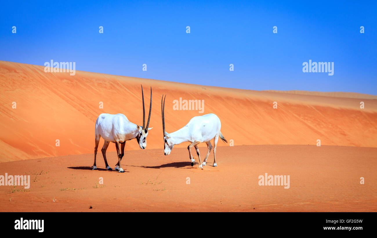 Oryxes or Arabian antelopes in the Desert Conservation Reserve near Dubai, UAE Stock Photo
