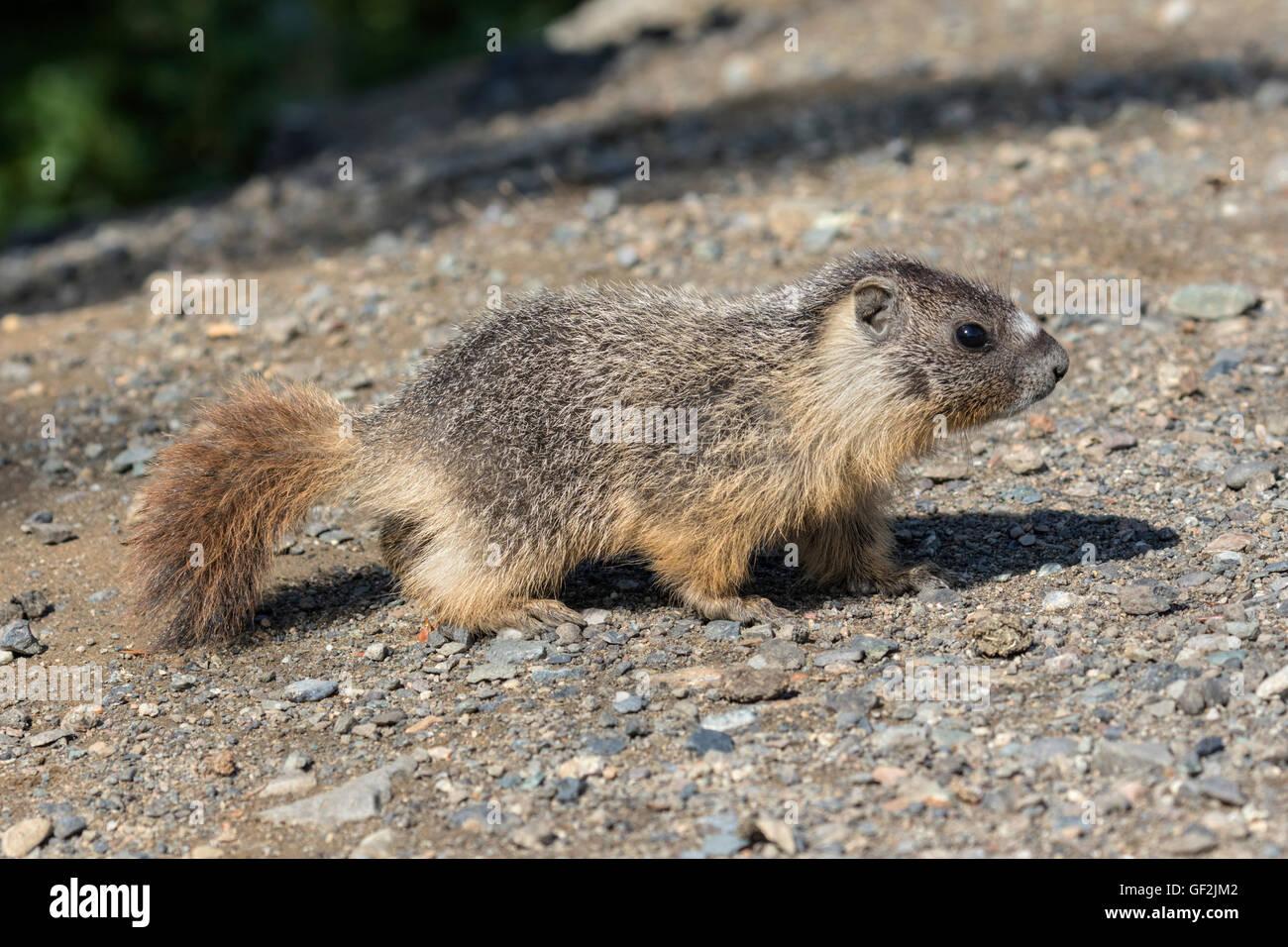 Yellow bellied Marmot - Stock Image