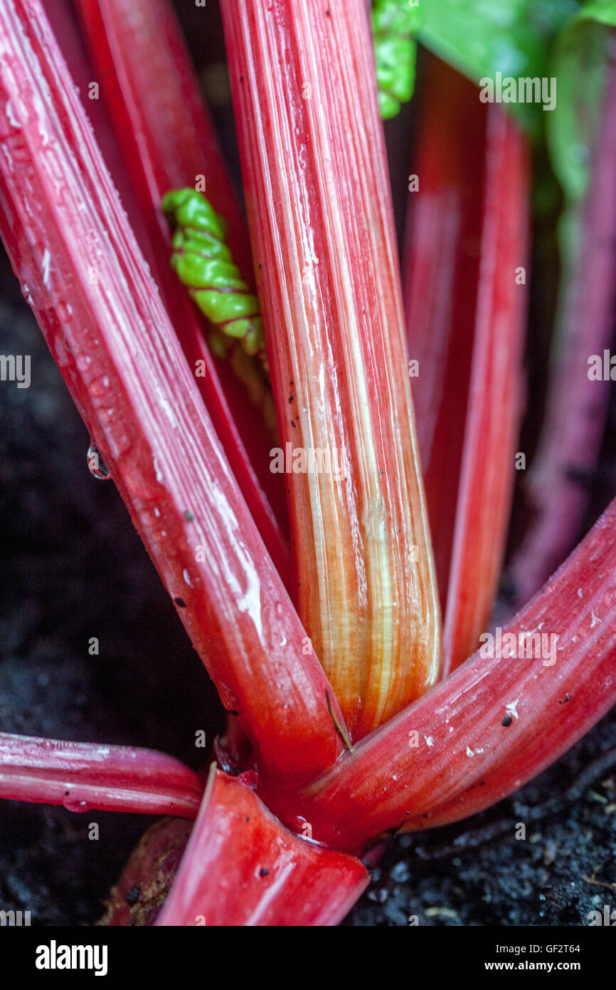 Swiss chard, silverbeet, perpetual spinach, spinach beet, crab beet, bright lights, seakale beet, and Mangold - Stock Image